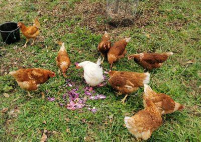 Dix poules sont accueillies au Letty